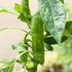 農産物になぜ農薬が必要?安定した生産量を保つのに欠かせない5つの理由